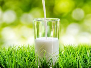 organik süt